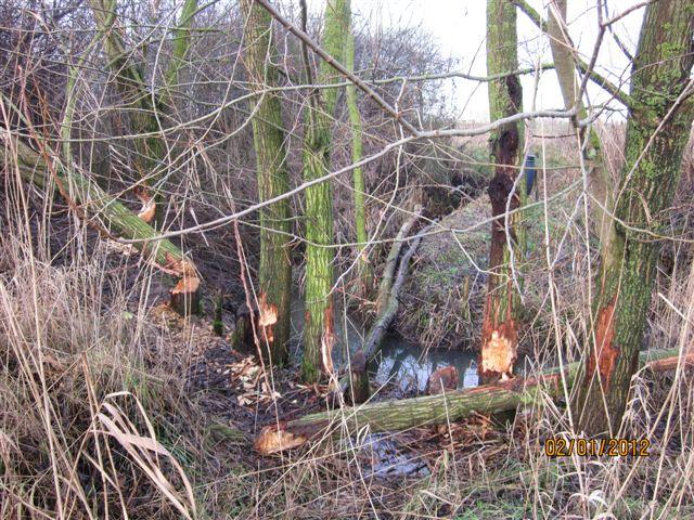 beversporen-staand hout
