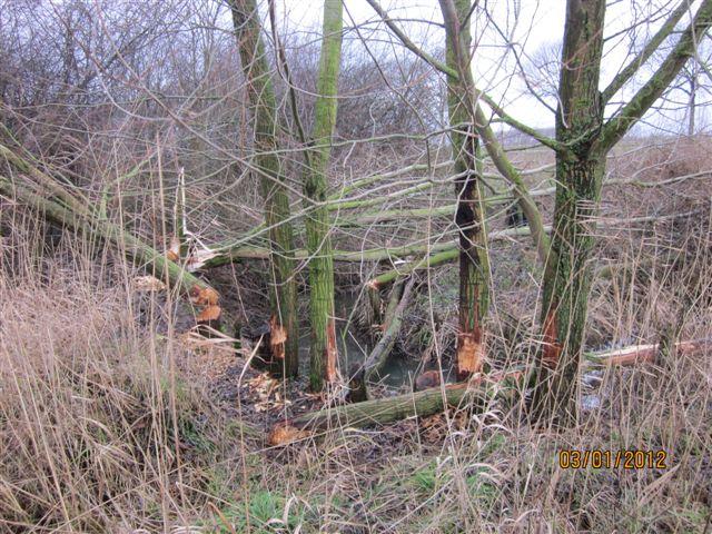 beversporen-liggend hout